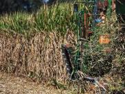 Seca, geadas e incêndios exigem maior cuidado com as soqueiras da cana para reduzir a quebra de produção das próximas safras