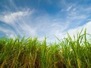 Começa a safra da cana-de-açúcar no Estado de São Paulo