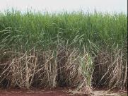 Cana-de-açúcar: Uma cultura que une o Brasil