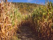 A irrigação por gotejamento ajudando nos efeitos pós-geada nos canaviais